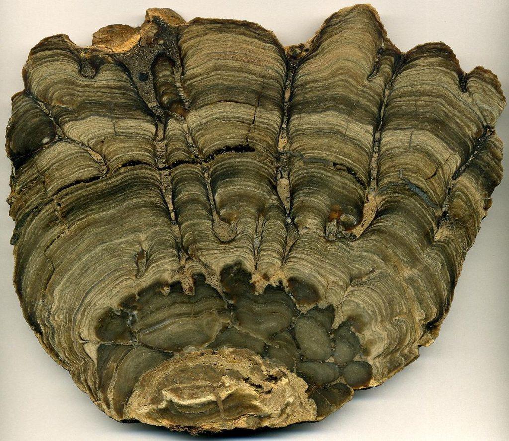Stromatolite fossile